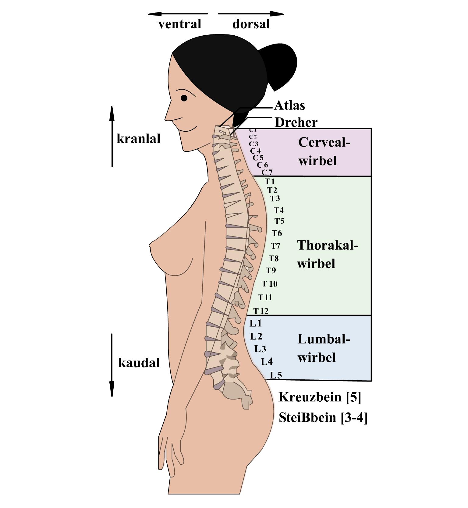 Atemberaubend C2 Wirbel Fotos - Menschliche Anatomie Bilder ...