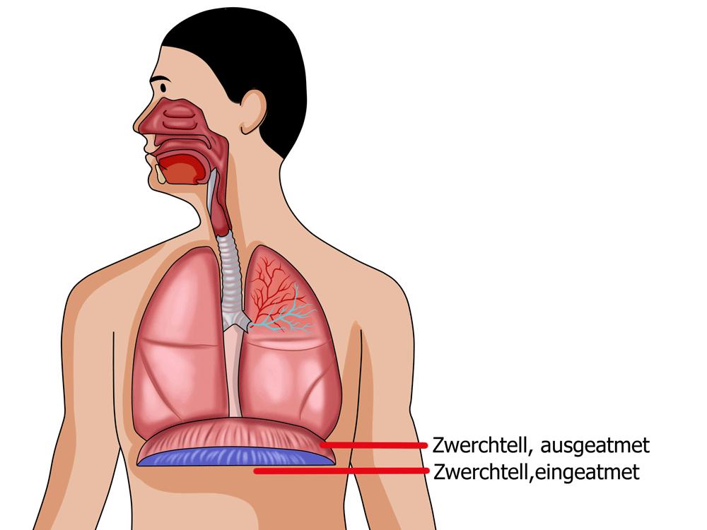 Das Zwerchfell als Ursache für Nackenschmerzen und Verspannungen